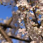 聖地巡礼記:秒速5センチメートル@参宮橋 桜咲く代々木公園を散歩する