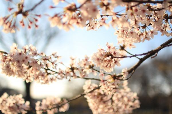 IMG 7843 - 【聖地巡礼】秒速5センチメートル@東京(参宮橋)桜咲く代々木公園を散歩するin2015